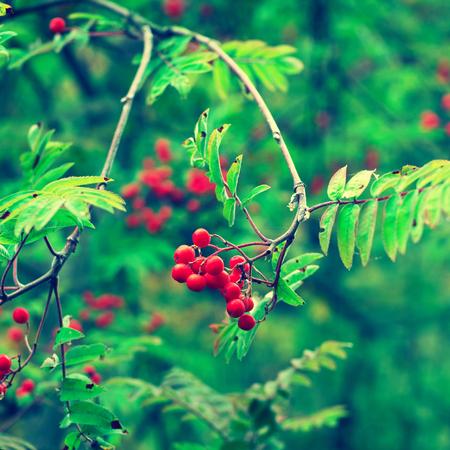eberesche: Beeren der roten Eberesche Lizenzfreie Bilder