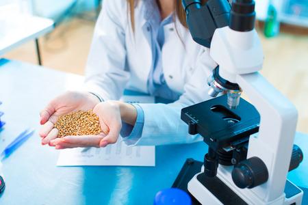 laboratorio: Las diferentes variedades de lentejas en una cría de laboratorio y la modificación genética