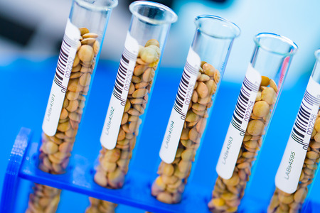 food testing: Different varieties of lentils in a laboratory breeding and genetic modification