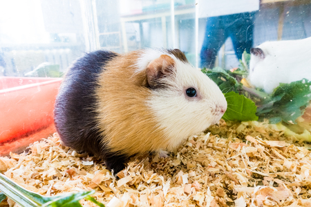 likable: Guinea pig (Cavia porcellus) is a popular household pet.