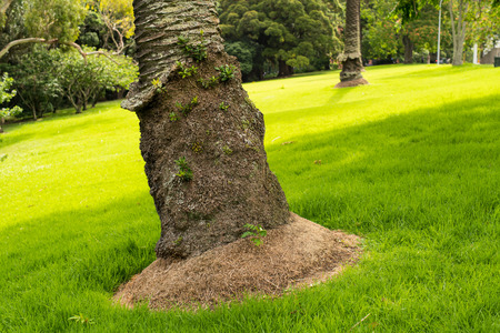 date palm tree: palm tree trunk and green grass