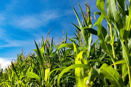 corn crop: Cornfield and blue sky Stock Photo