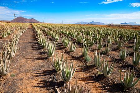fuerteventura: Aloe vera on Fuerteventura canarian island