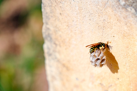 builds: Wasp Queen builds a nest to start a new colony