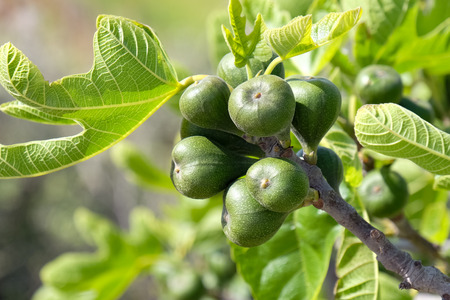 purple fig: Figs on the branch of a fig tree Stock Photo