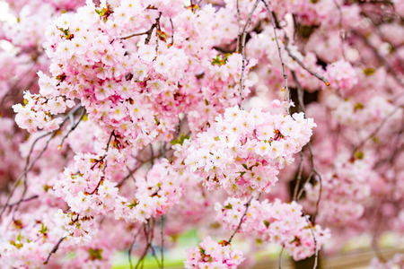 flor de sakura: Sakura Flower or Cherry Blossom With Beautiful Background