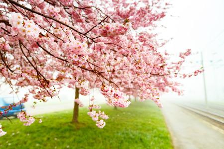 fleur de cerisier: Sakura Fleur ou Cherry Blossom Avec Belle Contexte