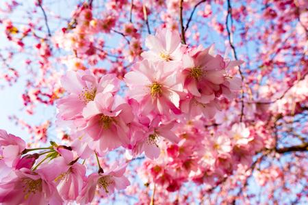 pink skies: sakura flowers