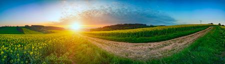 campo de flores: Panorama de colza canola paisaje de campo en la mañana
