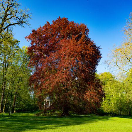 acer: Acer rubrum in park Stock Photo
