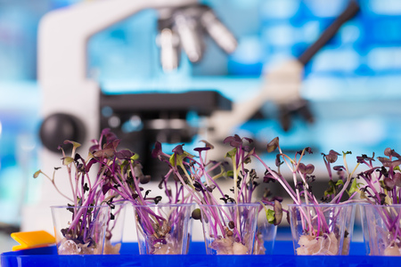 genetically modified crops: Quality control expert inspecting at young plans in the laboratory, pesticides and herbicides content test