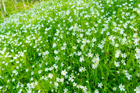 chickweed: small white flowers in spring forest, cerastium arvense