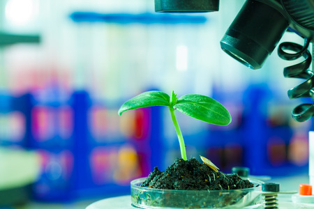 transgenic: Green young plant in petri dish in botanic laboratory
