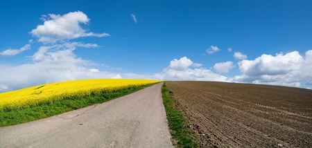 napus: Rapeseed field on a sunny day, Rapeseed (Brassica napus), also known as rape,   oilseed rape, rapa, rappi, rapaseed