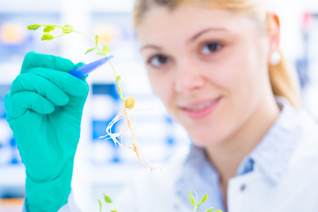 petri dish: Experiment with genetically modified plants. Young woman laboratory assistant at the Laboratory of Plant Genetics GMO Stock Photo