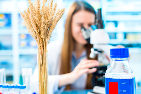 genetically modified crops: Selective and genetic work with seeds and grains in a scientific laboratory. Food quality control
