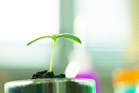 petri: Young  green plant on petri dish in genetic laboratory Stock Photo