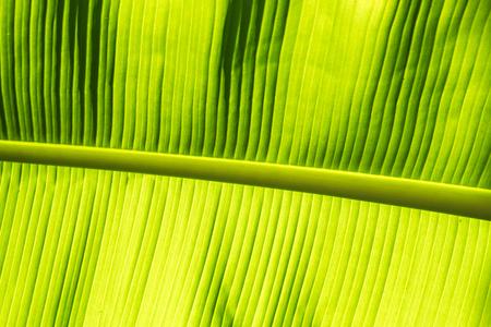 Banane palm leaf, green nature trexture background