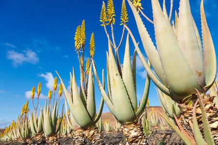 aloe vera flowers: Aloe vera farm plantation