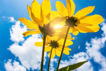 Yellow flower on blue sky background low angle Stock Photo