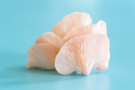 Pleurotus djamor mushrooms grow on blue background