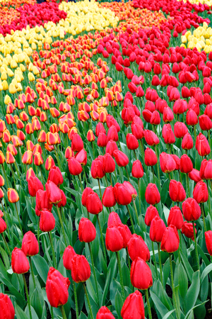 flowerbeds: Flowerbeds with red tulips