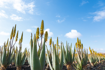 Aloe vera farm plantation