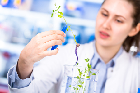 technician in the laboratory of plant genetics investigates the sprout of soybean