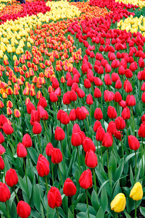 Flowerbeds with red tulips