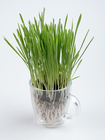 Fresh wheat grass on white  Growing grass isolated Stock Photo