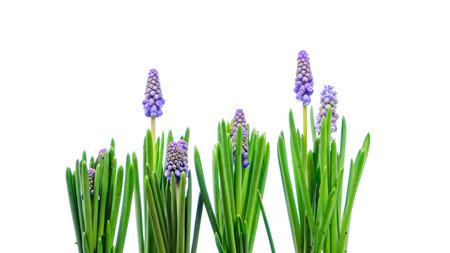 Muscari flowers isolated on white background