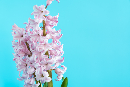 flower plant hyacinth on a colored background