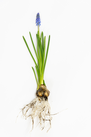 Grape muscari hyacinth  flowers isolated on white background with root