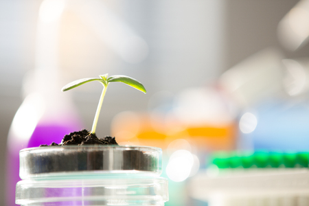 Young  green plant on petri dish in genetic laboratory Stock Photo