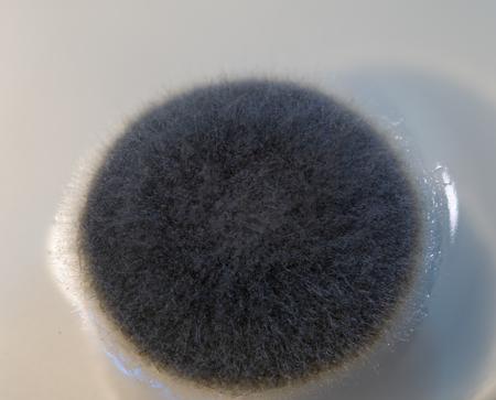 mold growth on agar
