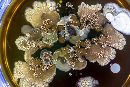 Mold growing in a Petri dish Reklamní fotografie