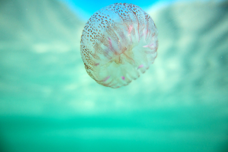 jellyfish underwater in backlight