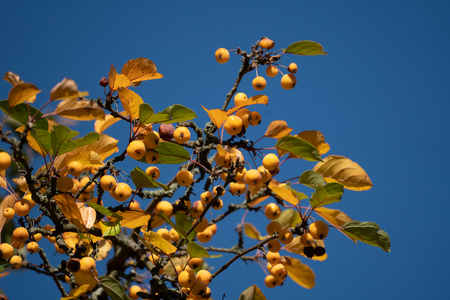 Little apples on autumn tree branches