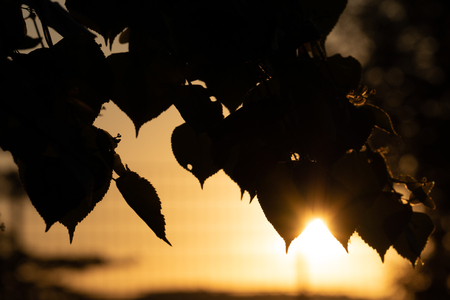 silhouette of  tree with  sunrise in background