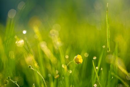 Ranunculus flower in a meadow morning