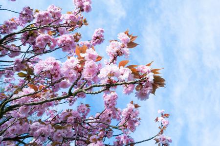 Alberi di sakura in fiore contro il cielo Archivio Fotografico