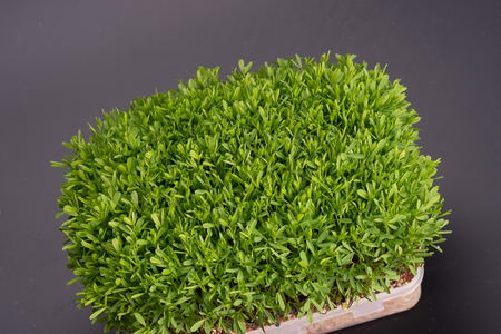 young microgreen vegetable green. A microgreen -  Sprouts in plastic box.  raw sprout vegetables germinated from plant seeds.
