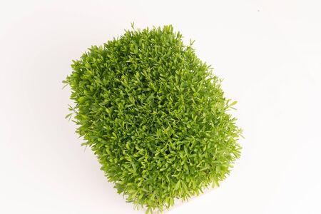 green sprouts edible plants. microgreens nutrition Reklamní fotografie