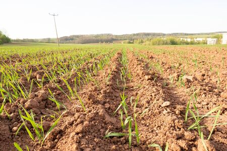 Agricultural field with plant shoots Stockfoto