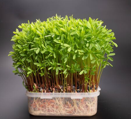 green sprouts edible plants. microgreens nutrition