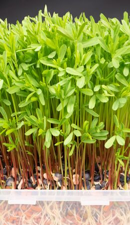 Fresh microgreens closeup. Growing sprouts for salad.