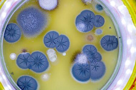 colony of skin fungi in a petri dish