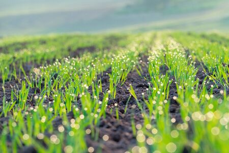 Agricultural field with green shoots of plants