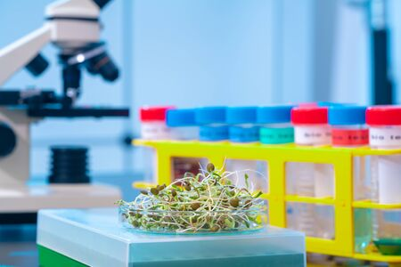 Young plant sprouts. Raw Green Organic plant Microgreens. For making fresh salads. detox, diet. seedlings. Research in microbiological lab of content pathogenic bacteria Stock Photo
