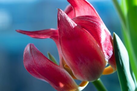 Bouquet of red tulip flowers Banco de Imagens